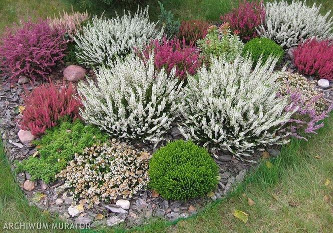 Wrzosowisko, czyli ogród ozdobny