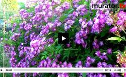WIDEO: Jak posadzić i pielęgnować róże w ogrodzie? Jakie gatunki wybrać?