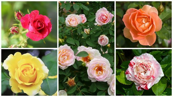 Róże w ogrodzie: odmiany