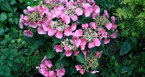 Hortensja. Jak zmienić barwę kwiatów hortensji ogrodowej
