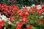 Begonie są wdzięczną ozdobą ogrodu, a najpopularniejszym gatunkiem jest begonia stale kwitnąca